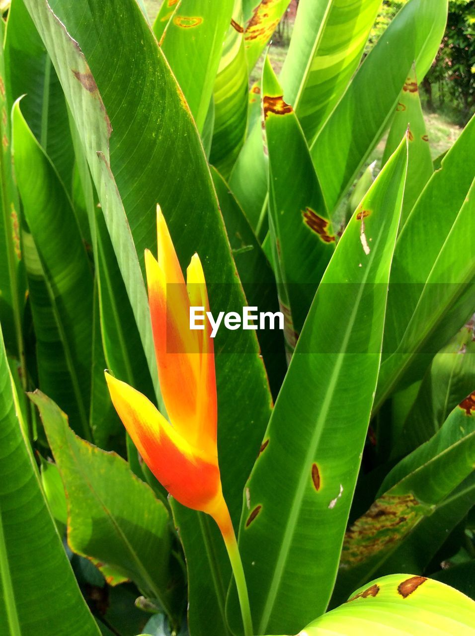 leaf, growth, nature, beauty in nature, green color, flower, freshness, plant, petal, fragility, day, outdoors, no people, flower head, blooming, close-up, bird of paradise - plant