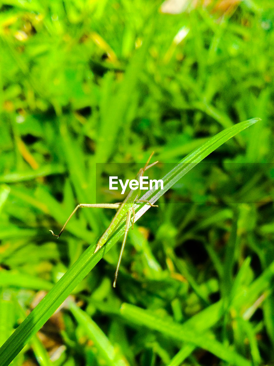 one animal, insect, animal themes, animals in the wild, green color, no people, nature, day, grass, outdoors, animal wildlife, close-up, full length, plant, damselfly, grasshopper