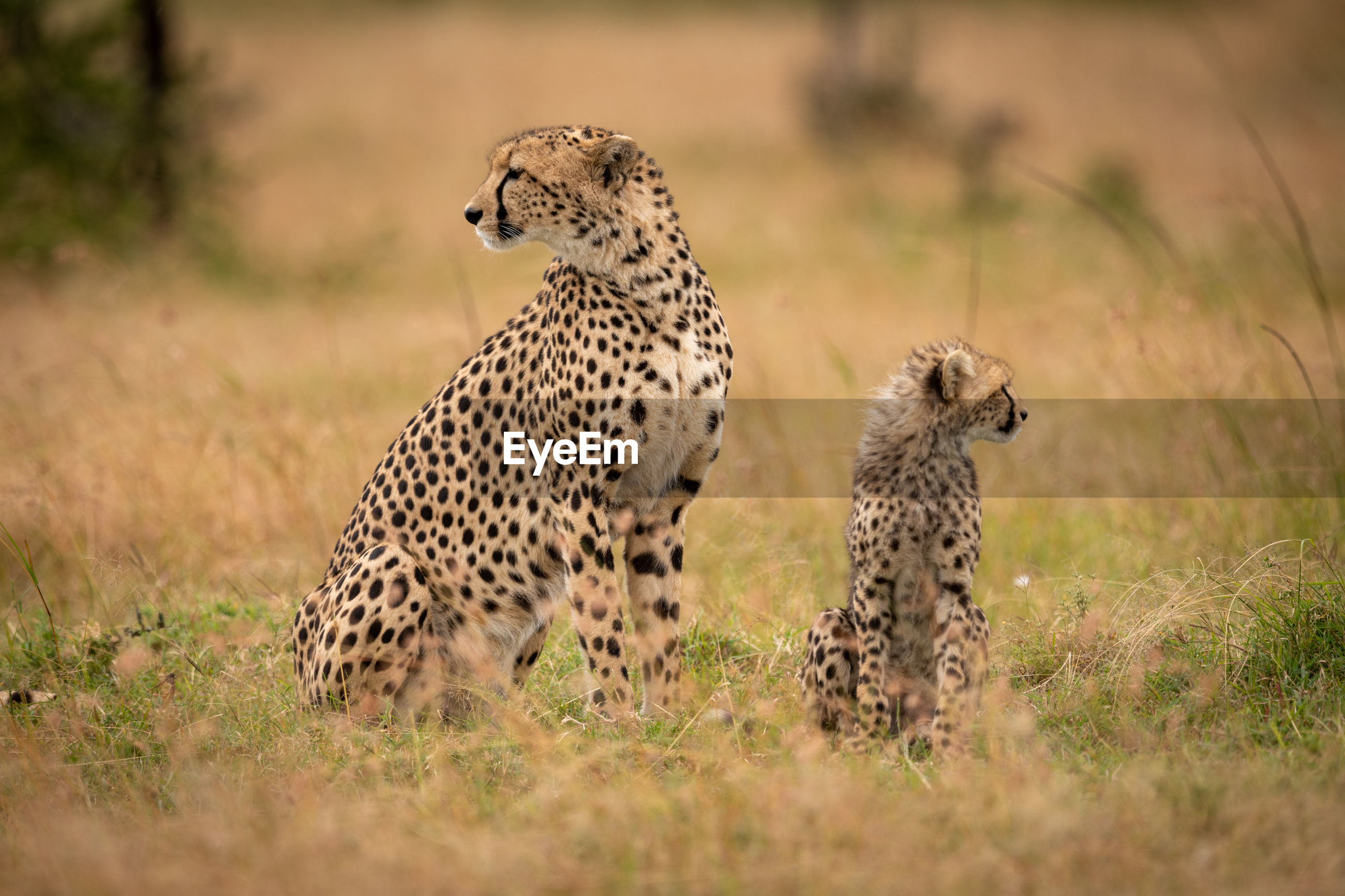 Cheetahs sitting on grassy field in forest