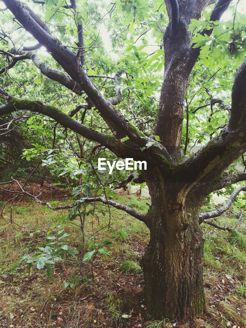 tree, plant, trunk, forest, nature, tree trunk, land, tranquility, day, branch, no people, growth, beauty in nature, outdoors, green color, scenics - nature, woodland, plant part, environment, tranquil scene