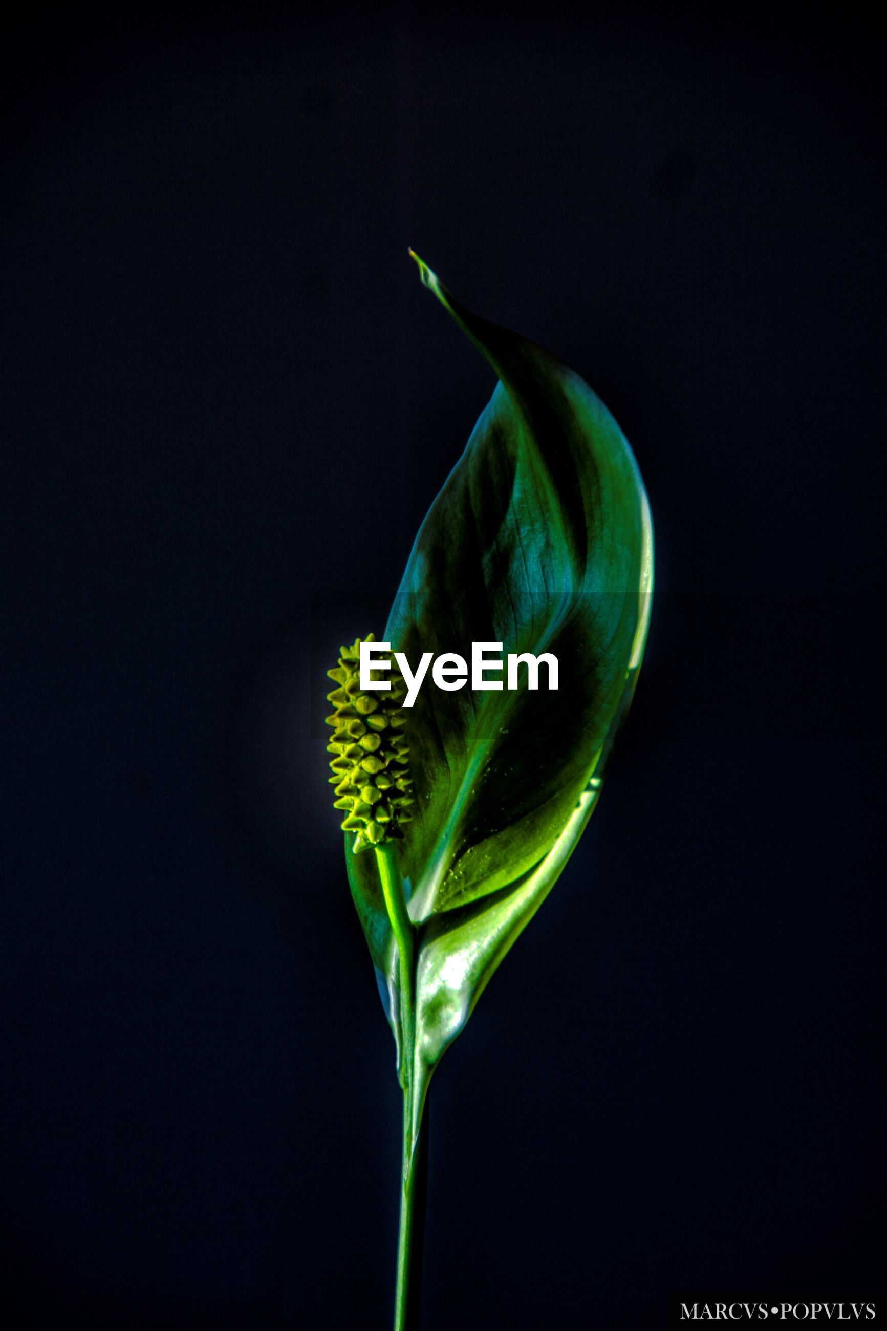 plant, studio shot, green color, freshness, close-up, beauty in nature, fragility, vulnerability, growth, black background, flower, nature, no people, indoors, flowering plant, plant part, leaf, copy space, plant stem, inflorescence, flower head, sepal