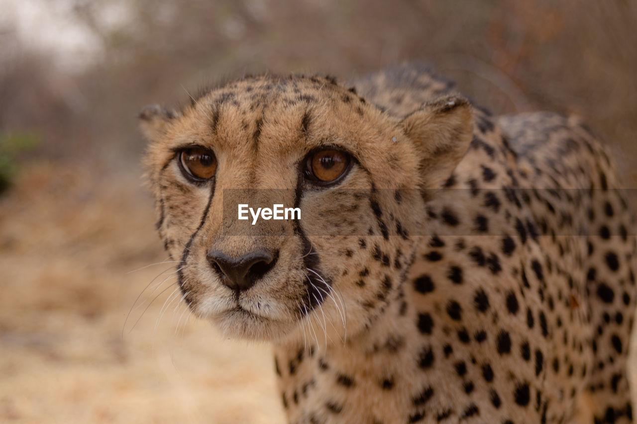 Close-Up Portrait Of A Cheetah