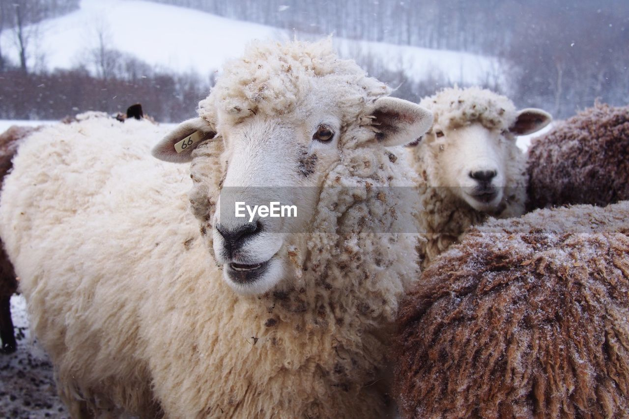 Close-Up Of Sheep During Winter