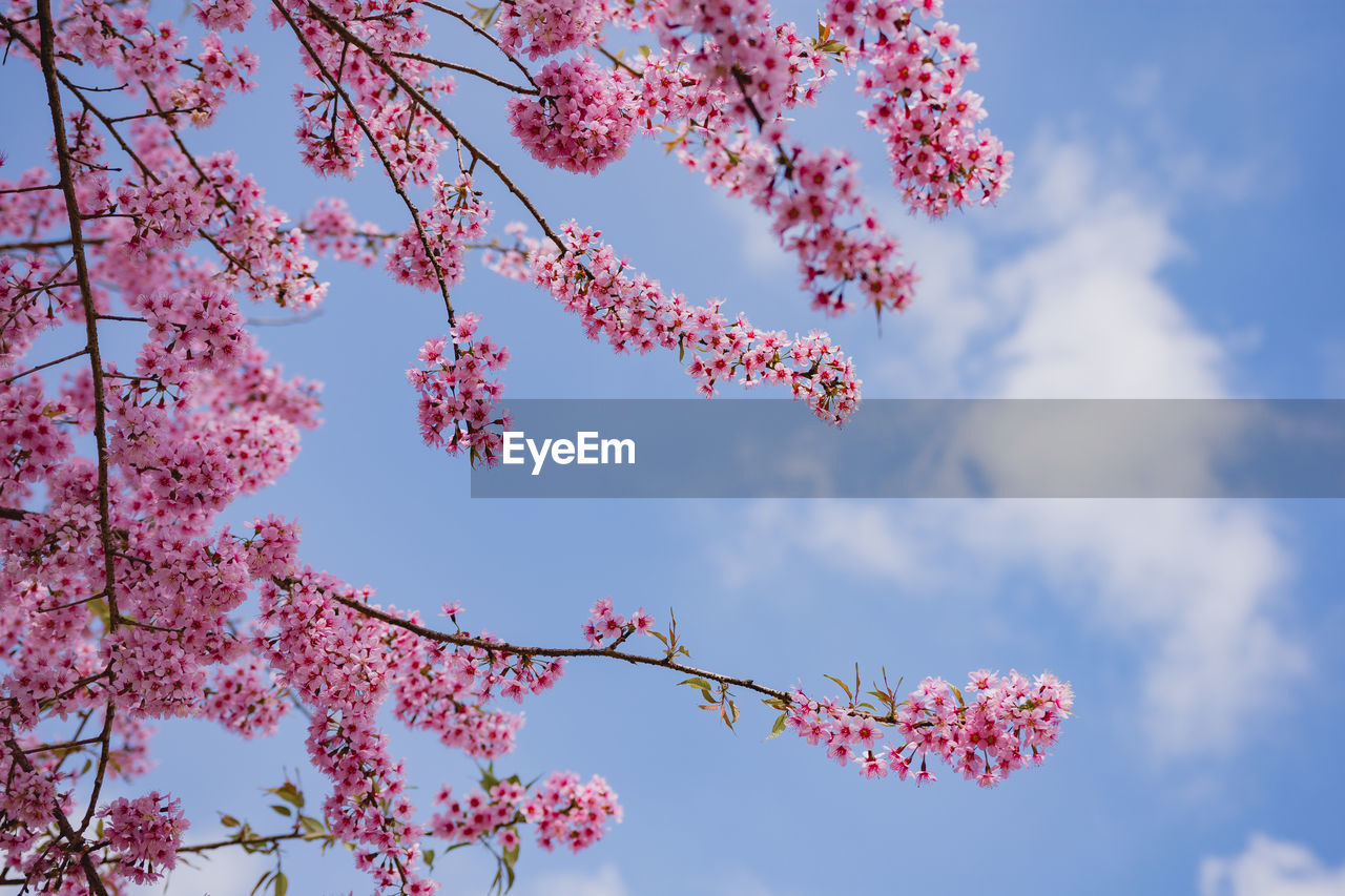 plant, flower, beauty in nature, flowering plant, sky, low angle view, pink color, tree, growth, fragility, freshness, nature, vulnerability, day, branch, blossom, cloud - sky, springtime, no people, outdoors, cherry blossom, flower head, cherry tree