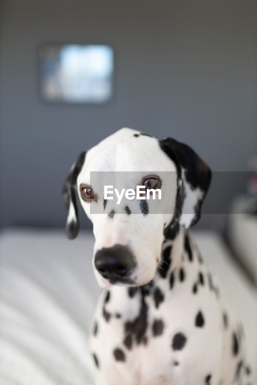 dog, dalmatian dog, canine, one animal, pets, domestic animals, domestic, animal themes, mammal, animal, spotted, vertebrate, focus on foreground, portrait, indoors, white color, looking at camera, close-up, no people, home interior, animal head
