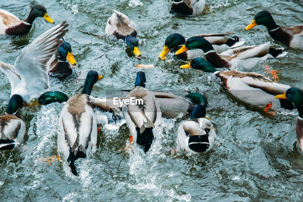 group of animals, large group of animals, animal, animal wildlife, animal themes, animals in the wild, vertebrate, water, swimming, nature, bird, day, lake, high angle view, flock of birds, no people, outdoors, waterfront, motion