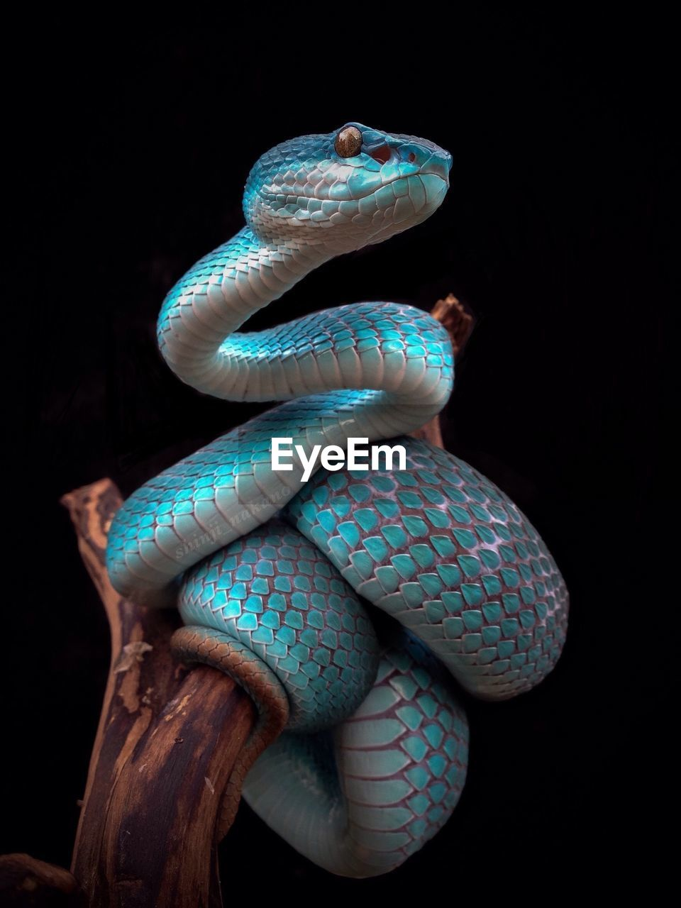 Close-up of blue snake on branch against black background