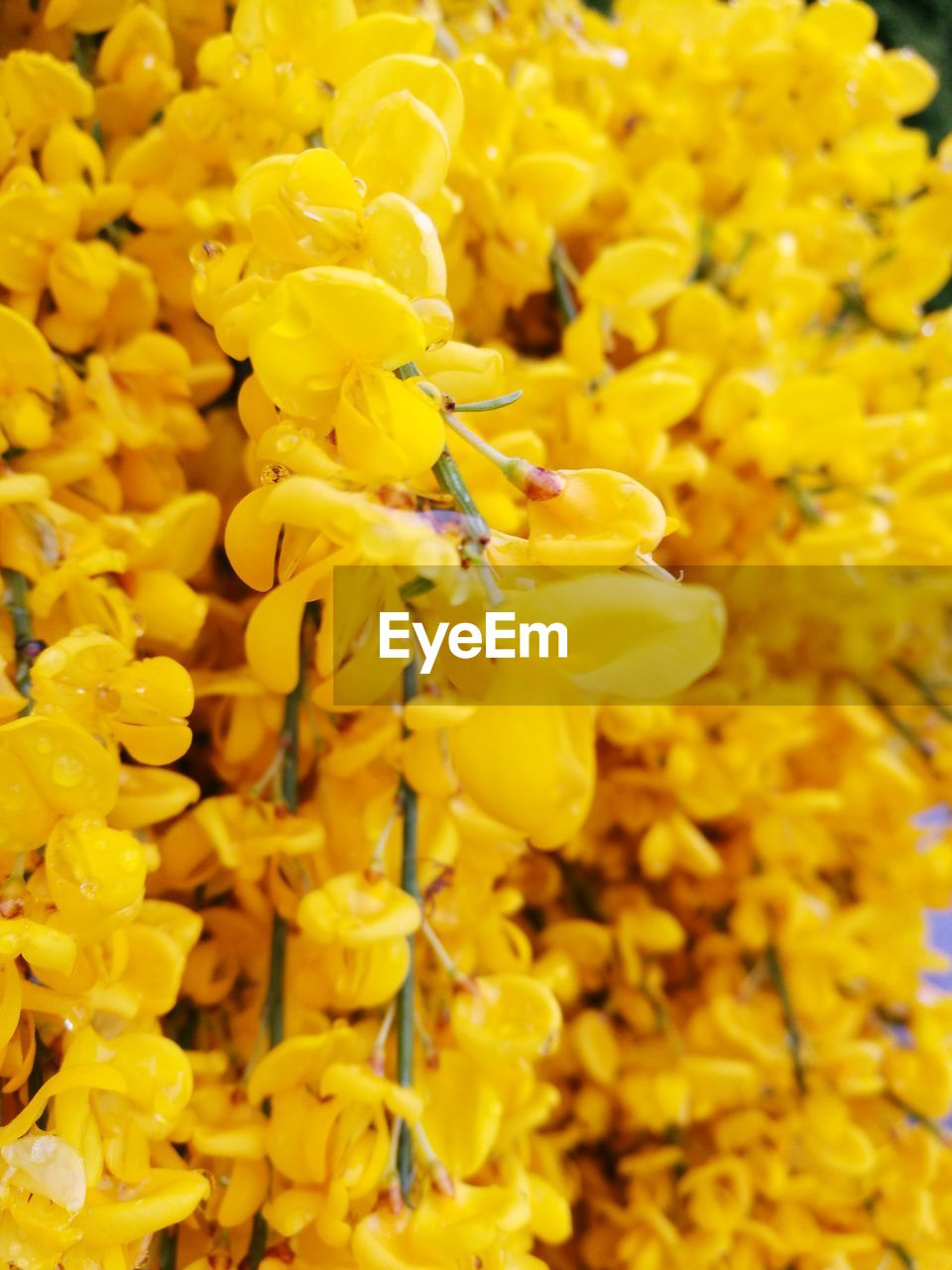 flower, yellow, fragility, freshness, growth, beauty in nature, petal, nature, blossom, selective focus, vibrant color, springtime, close-up, full frame, no people, plant, backgrounds, flower head, outdoors, blooming, day, mustard plant