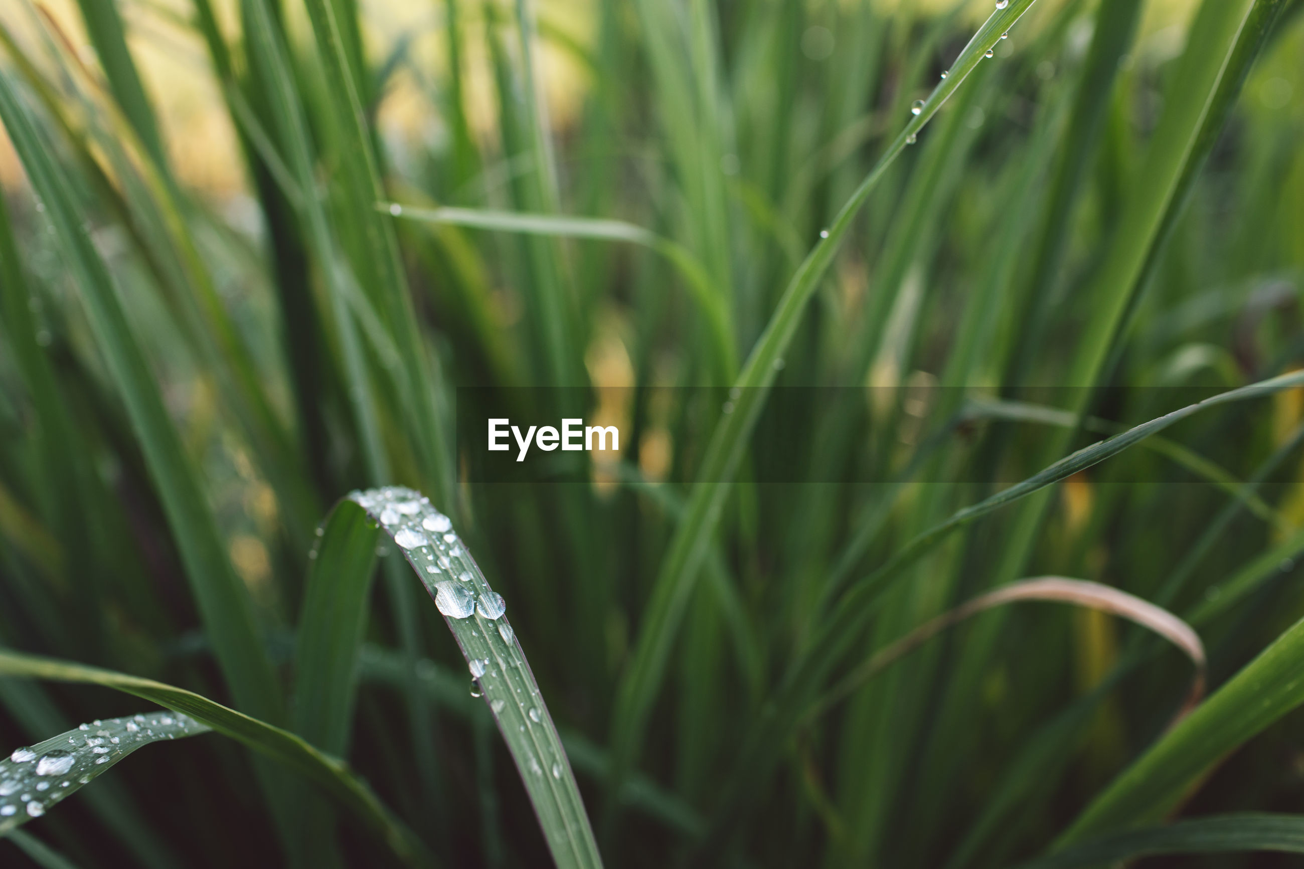 CLOSE-UP OF WET GRASS ON RAINY DAY