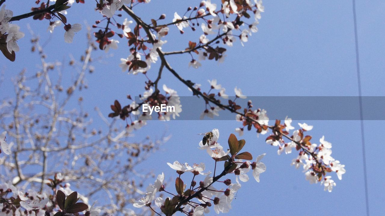 flowering plant, flower, fragility, sky, plant, freshness, vulnerability, beauty in nature, springtime, low angle view, blossom, branch, tree, growth, clear sky, white color, day, nature, no people, petal, cherry blossom, outdoors, cherry tree, flower head, spring
