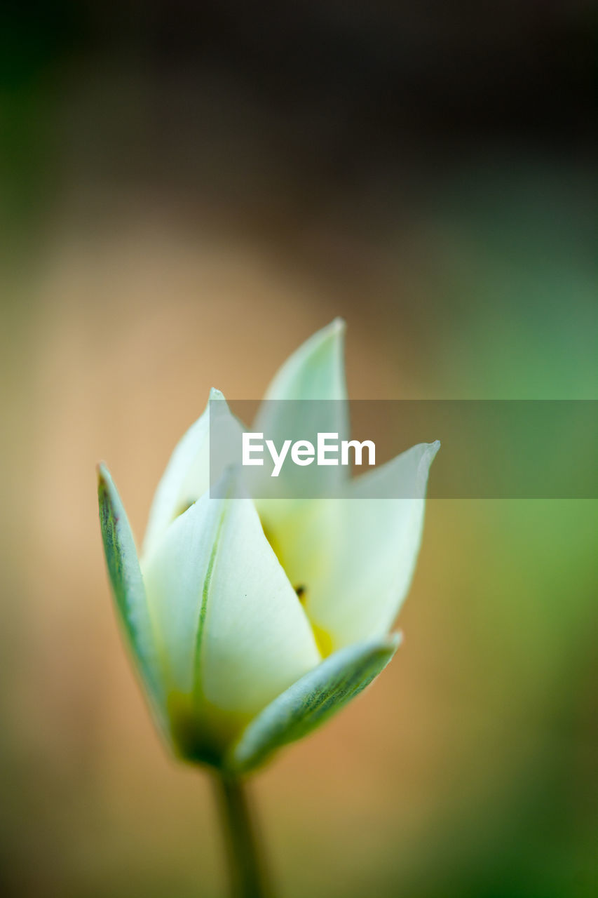 flower, flowering plant, plant, vulnerability, fragility, beauty in nature, growth, close-up, freshness, petal, focus on foreground, flower head, no people, inflorescence, nature, green color, day, bud, outdoors, sepal