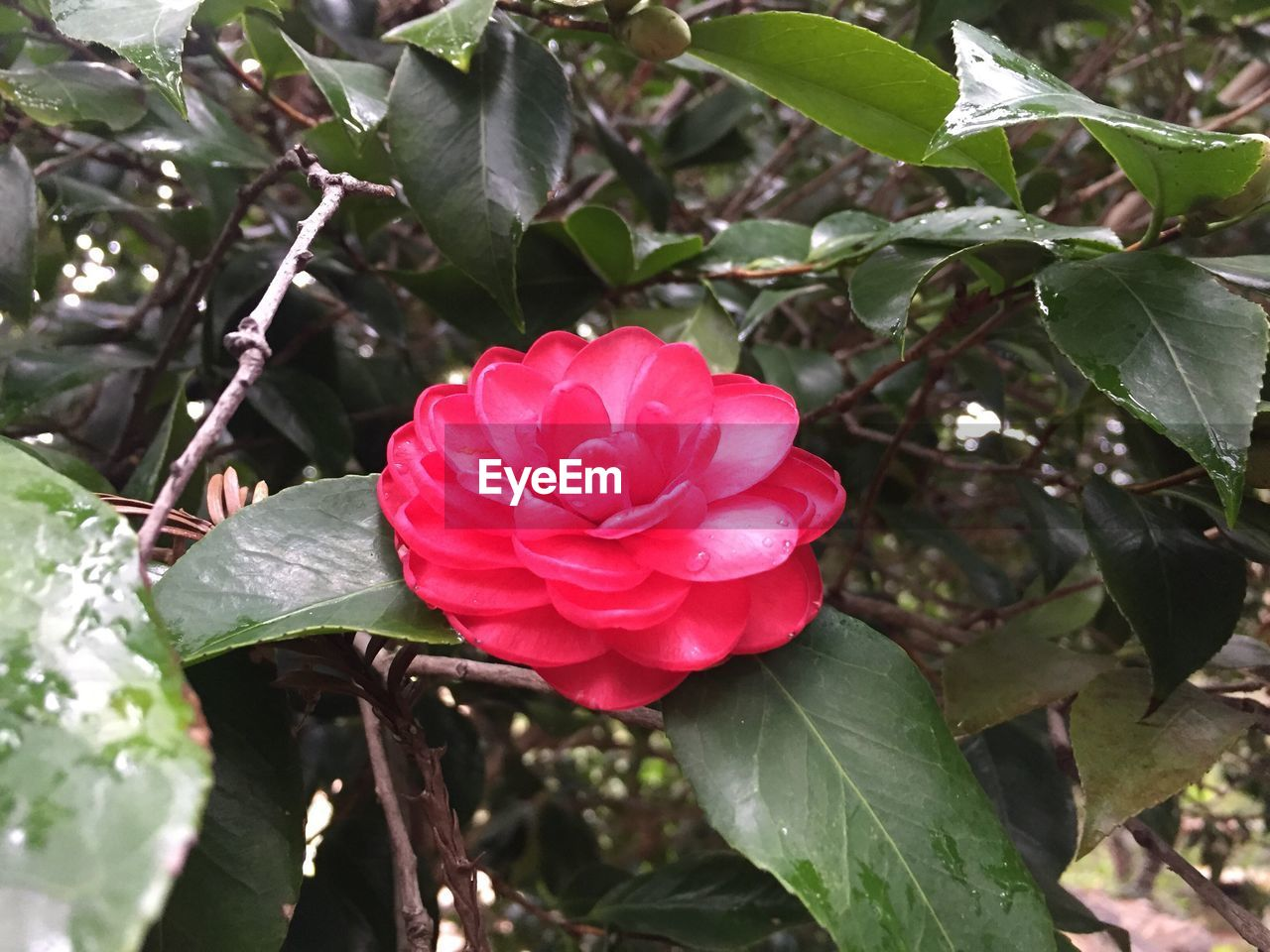 growth, leaf, nature, flower, petal, beauty in nature, fragility, plant, freshness, red, blooming, green color, flower head, day, outdoors, pink color, no people, close-up