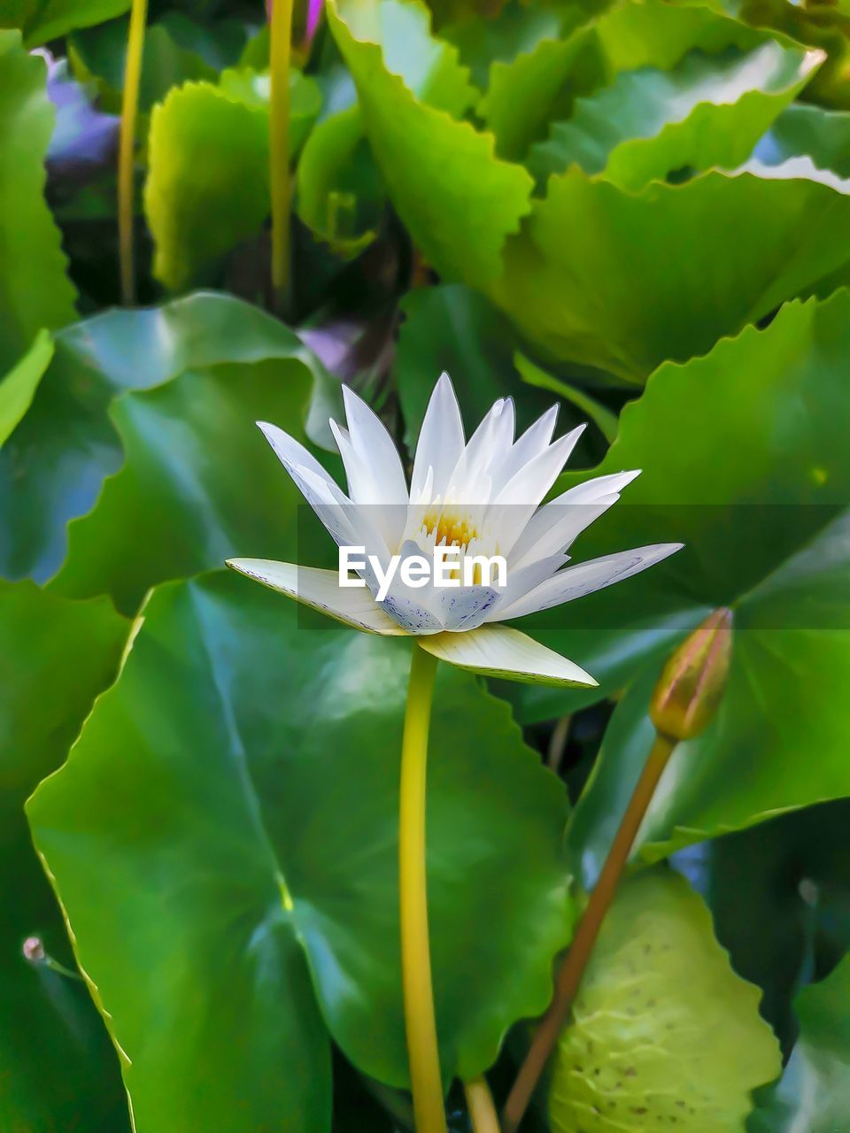 CLOSE-UP OF WHITE WATER LILY IN PLANT