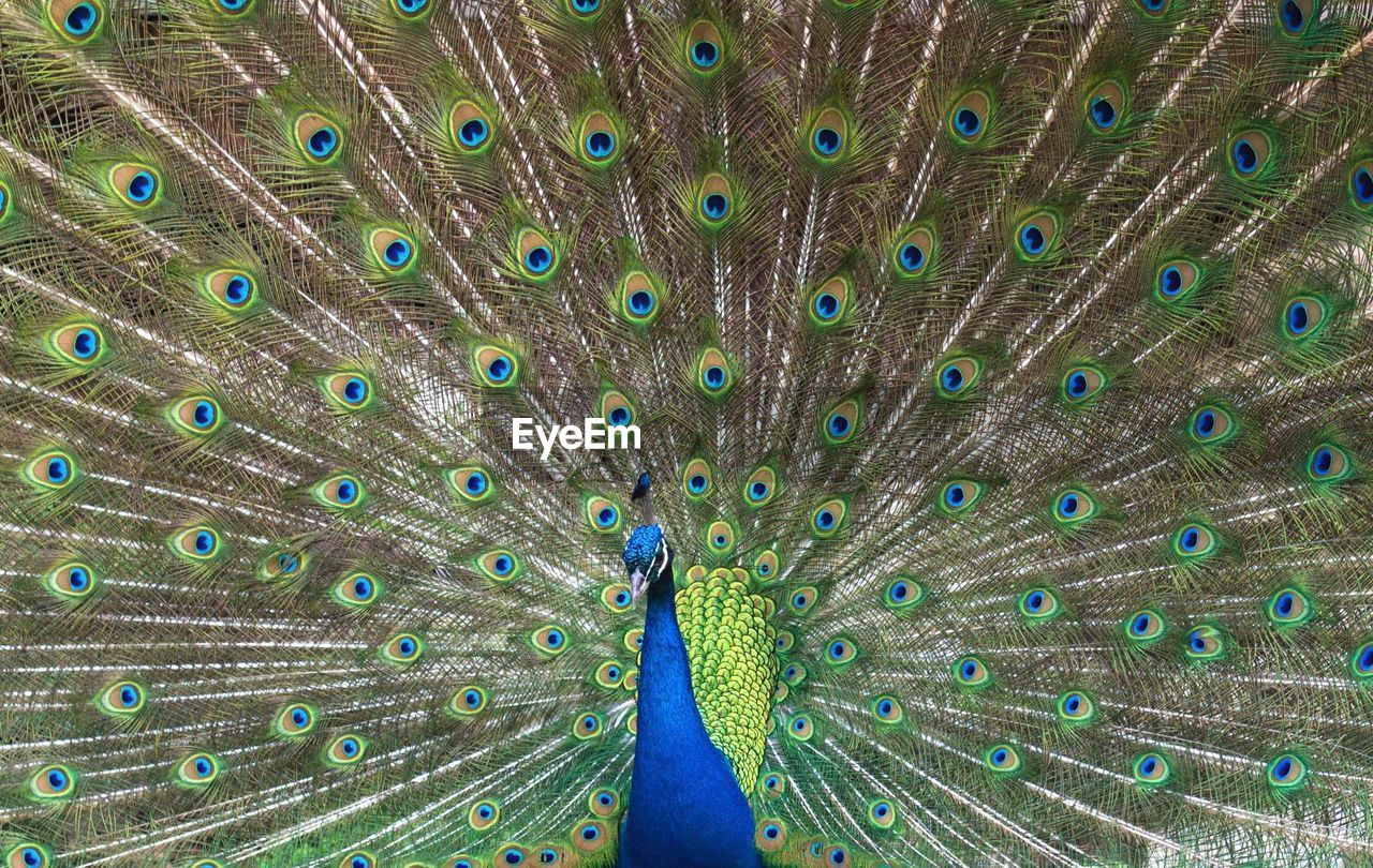 peacock, bird, animal themes, animal, peacock feather, feather, one animal, fanned out, animals in the wild, animal wildlife, vertebrate, no people, day, nature, full frame, blue, beauty in nature, close-up, outdoors, multi colored