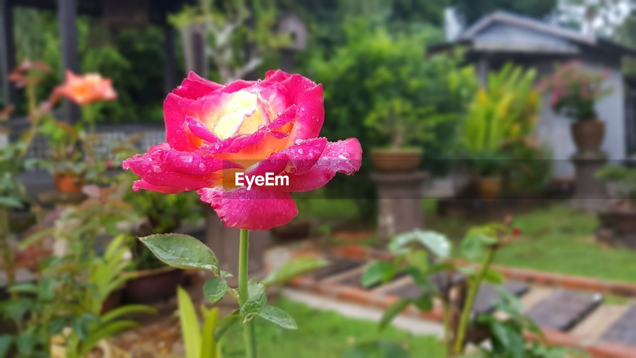 flower, nature, pink color, beauty in nature, petal, growth, plant, fragility, flower head, rose - flower, freshness, drop, wet, no people, focus on foreground, blooming, leaf, outdoors, day, water, close-up