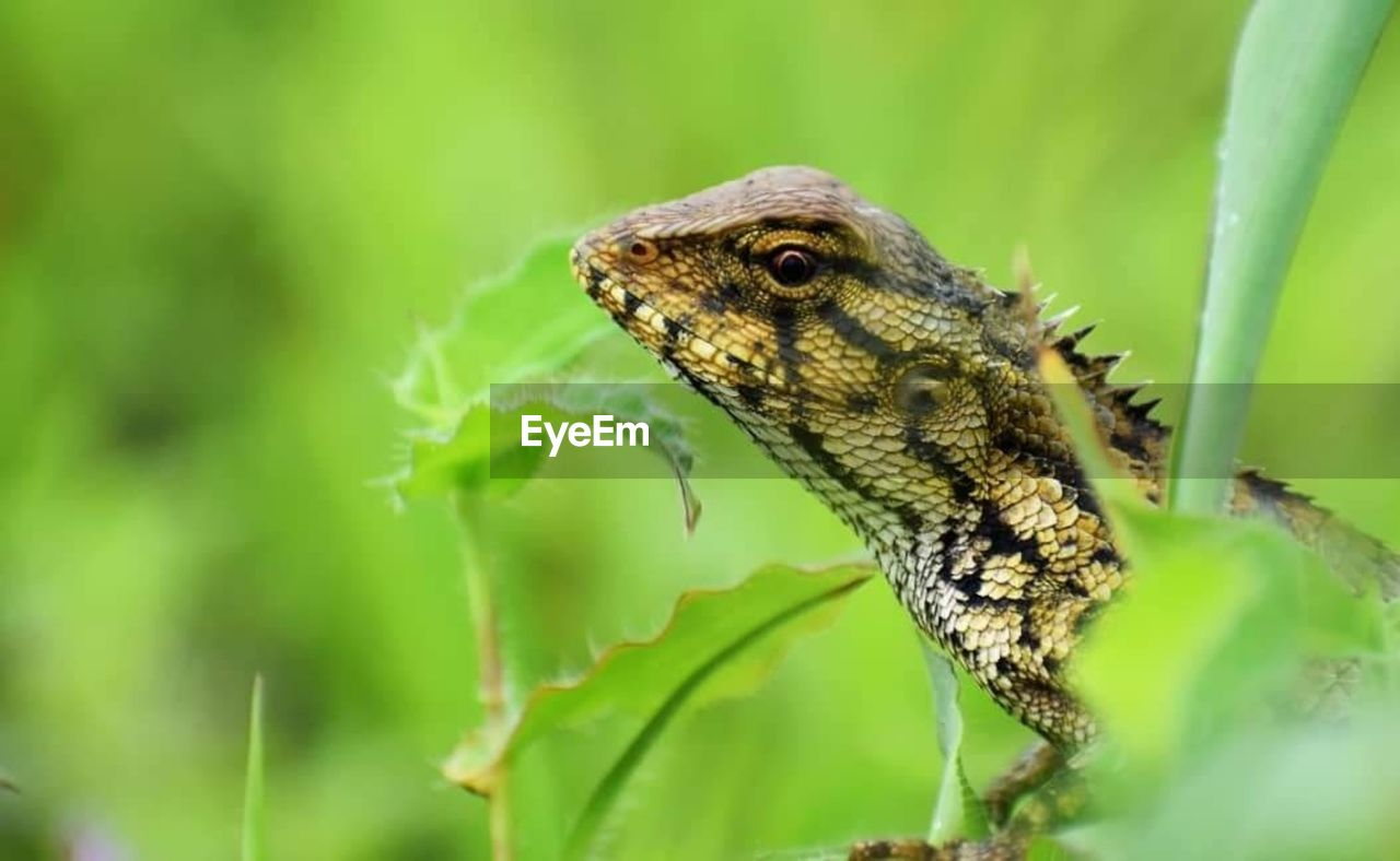 one animal, animal, animal themes, animal wildlife, reptile, animals in the wild, vertebrate, close-up, lizard, green color, no people, nature, animal body part, focus on foreground, selective focus, day, plant part, plant, leaf, animal head, outdoors, animal scale, animal eye, iguana
