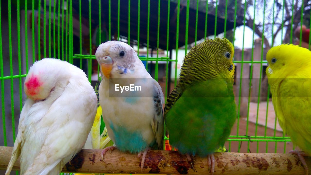 bird, animal themes, parrot, animals in the wild, cage, animal wildlife, nature, perching, green color, budgerigar, no people, close-up, day, outdoors