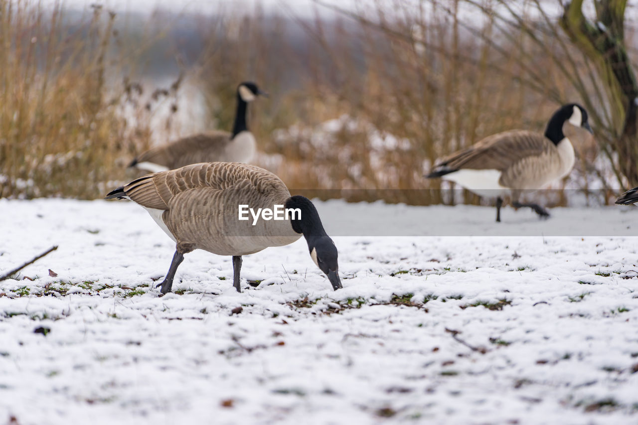 bird, animal themes, animals in the wild, group of animals, animal, vertebrate, winter, animal wildlife, snow, cold temperature, selective focus, land, field, nature, no people, goose, two animals, day, canada goose, outdoors