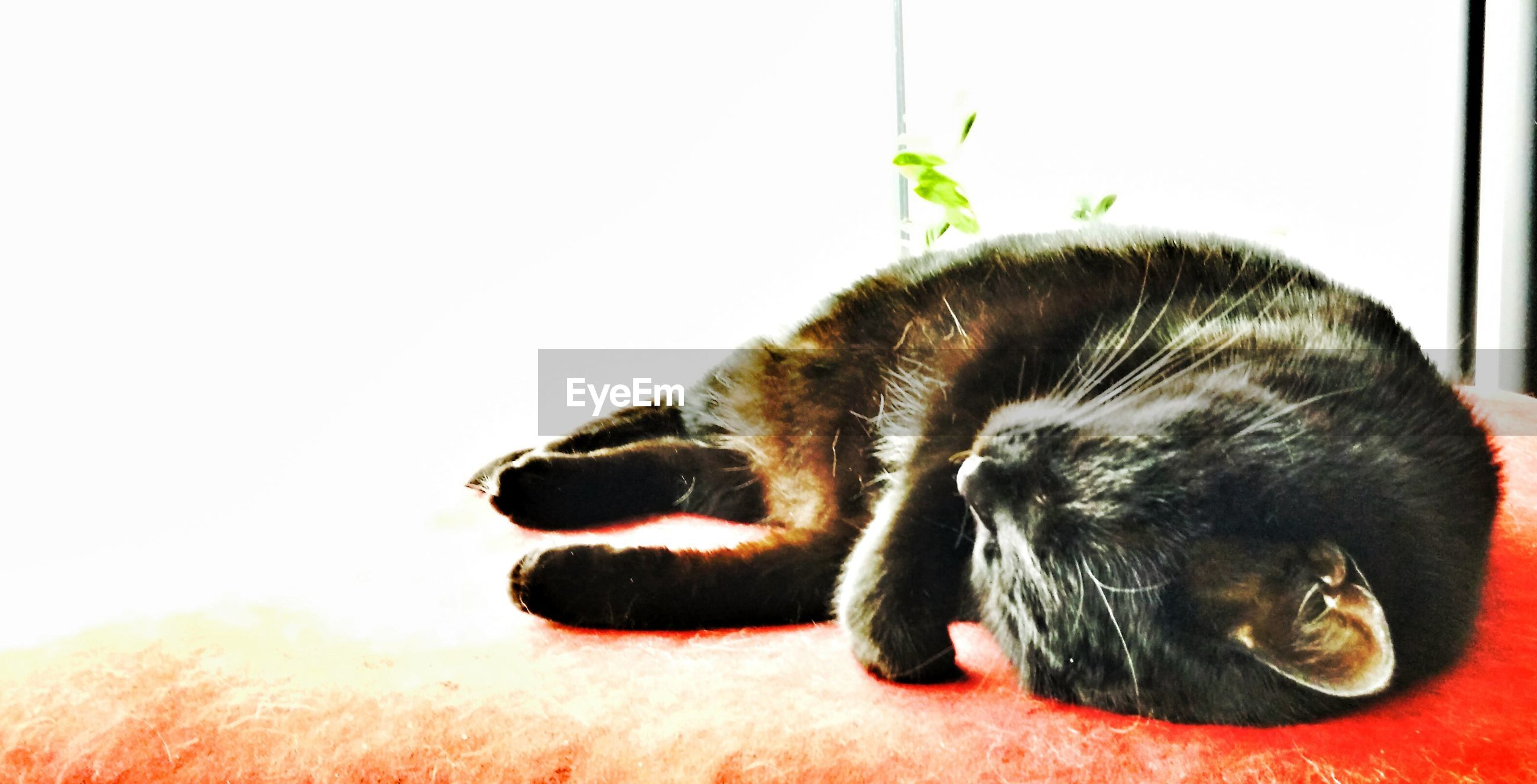 animal themes, one animal, mammal, domestic animals, pets, close-up, relaxation, wildlife, two animals, animal head, animals in the wild, indoors, zoology, resting, sleeping, focus on foreground, no people, lying down, black color, domestic cat