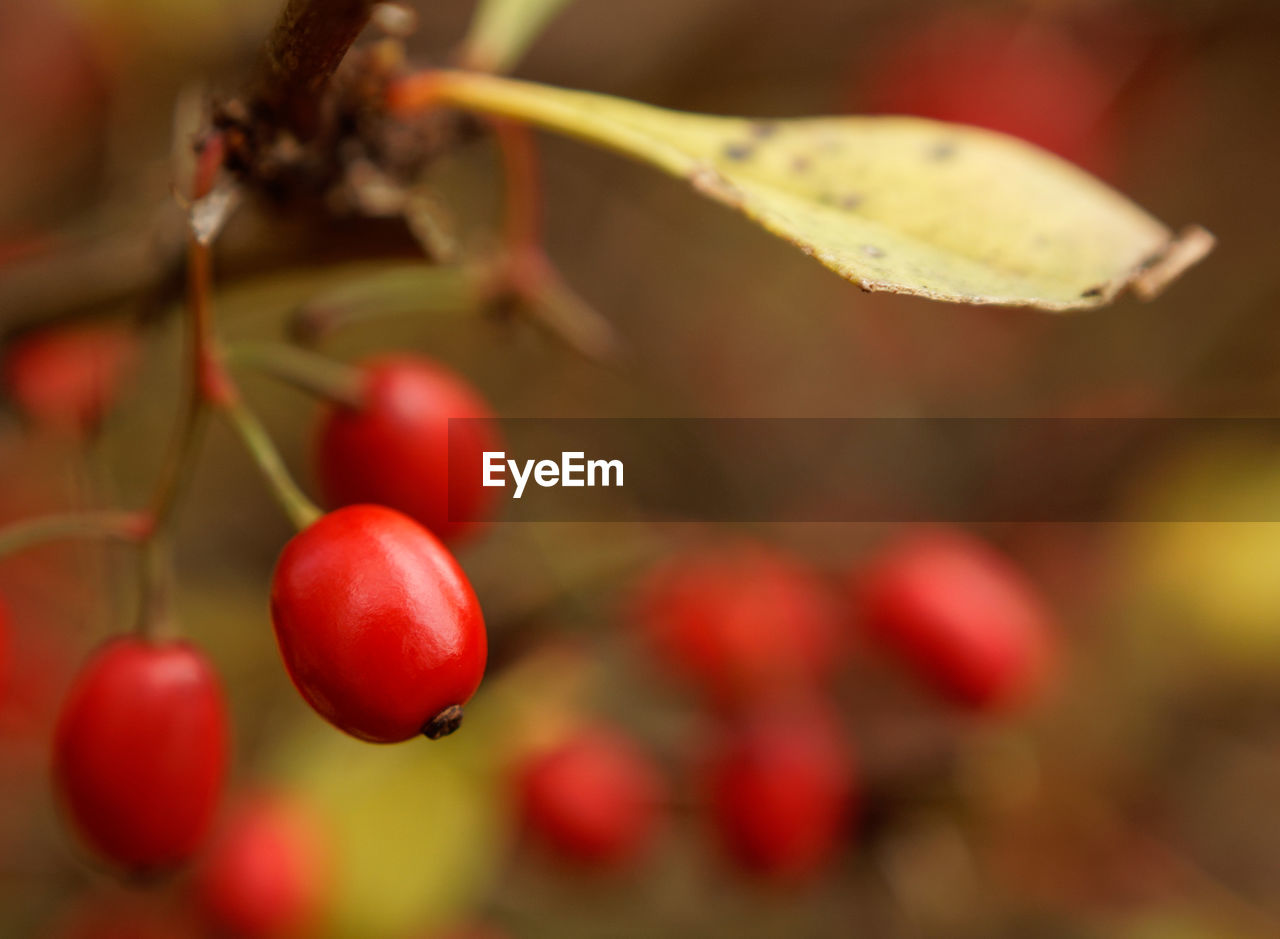 red, fruit, food and drink, growth, close-up, food, focus on foreground, outdoors, no people, day, nature, freshness, healthy eating, tree, beauty in nature