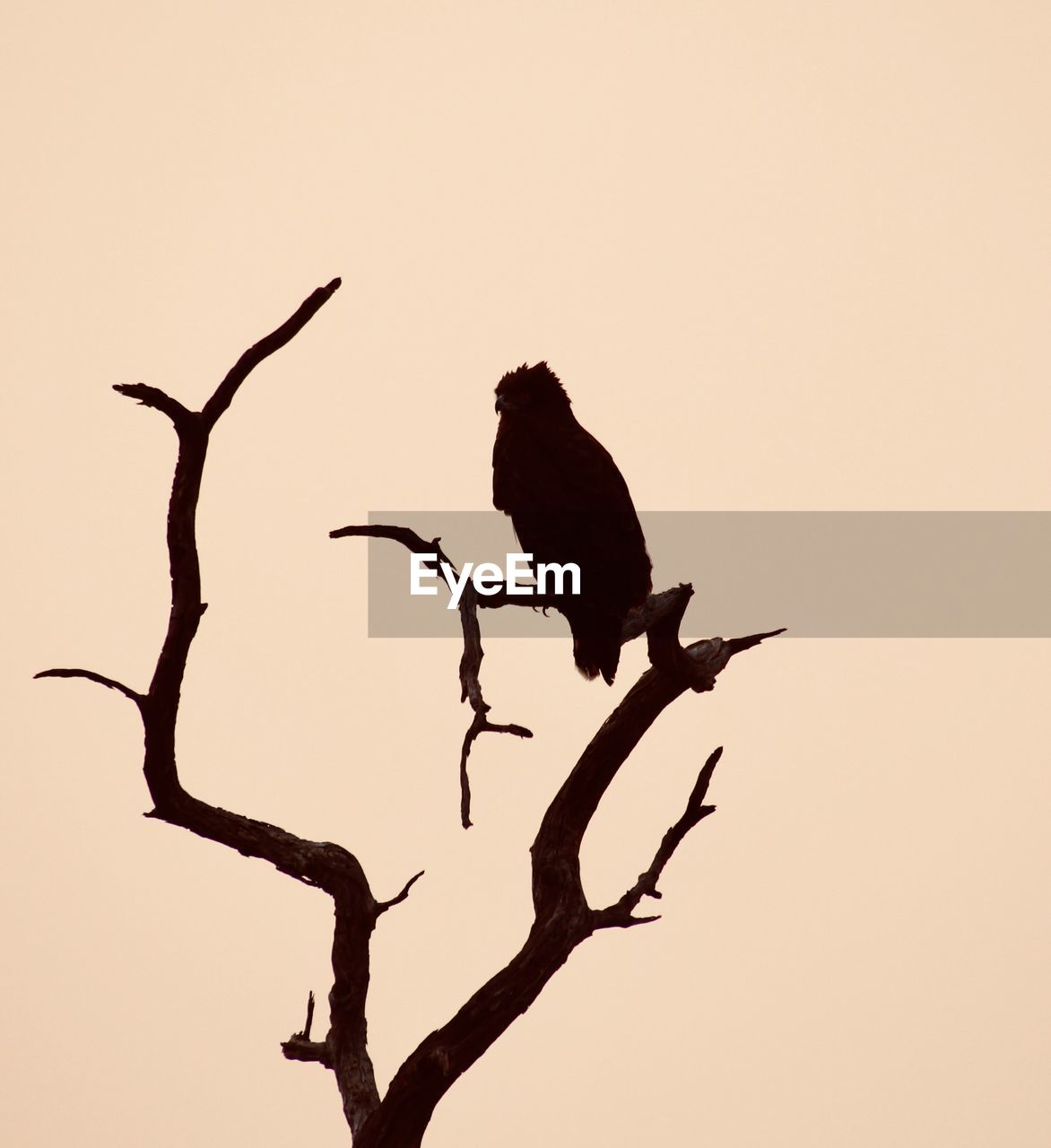 animal, animal themes, bird, vertebrate, animal wildlife, animals in the wild, tree, sky, branch, perching, no people, one animal, silhouette, nature, sunset, plant, clear sky, low angle view, outdoors, copy space