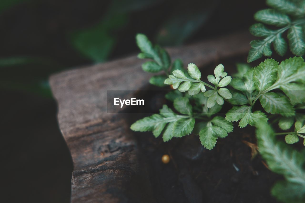 plant, close-up, green color, leaf, plant part, growth, selective focus, no people, nature, wood - material, beauty in nature, freshness, day, high angle view, food, food and drink, outdoors, focus on foreground, botany, herb