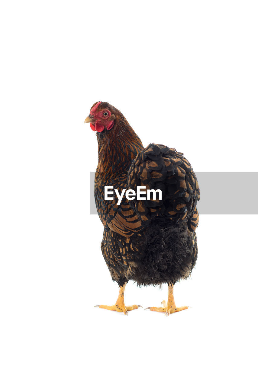 bird, animal, vertebrate, animal themes, chicken - bird, studio shot, domestic animals, pets, livestock, chicken, domestic, no people, white background, one animal, indoors, copy space, mammal, cut out, close-up, nature