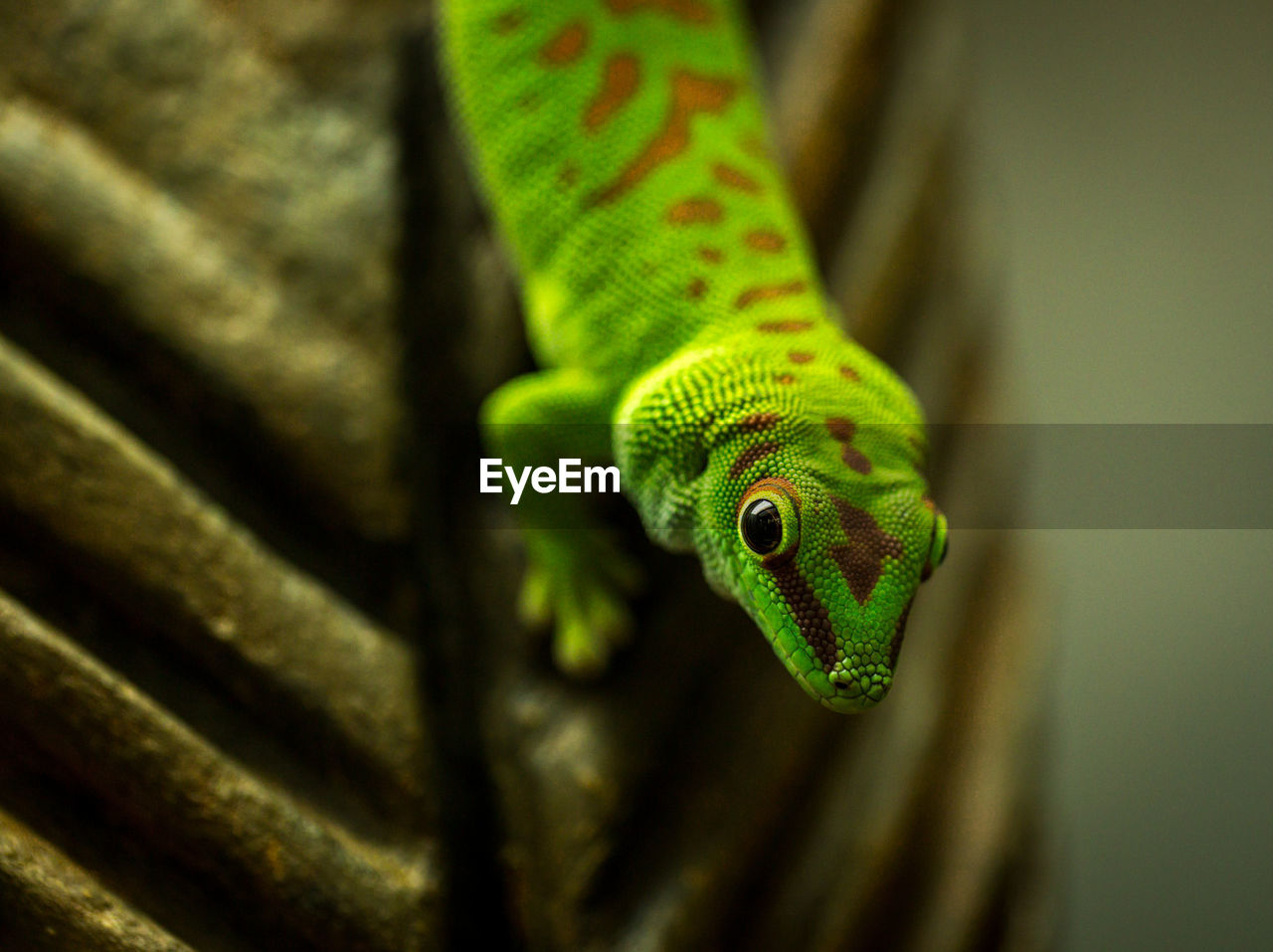 High angle portrait of green lizard