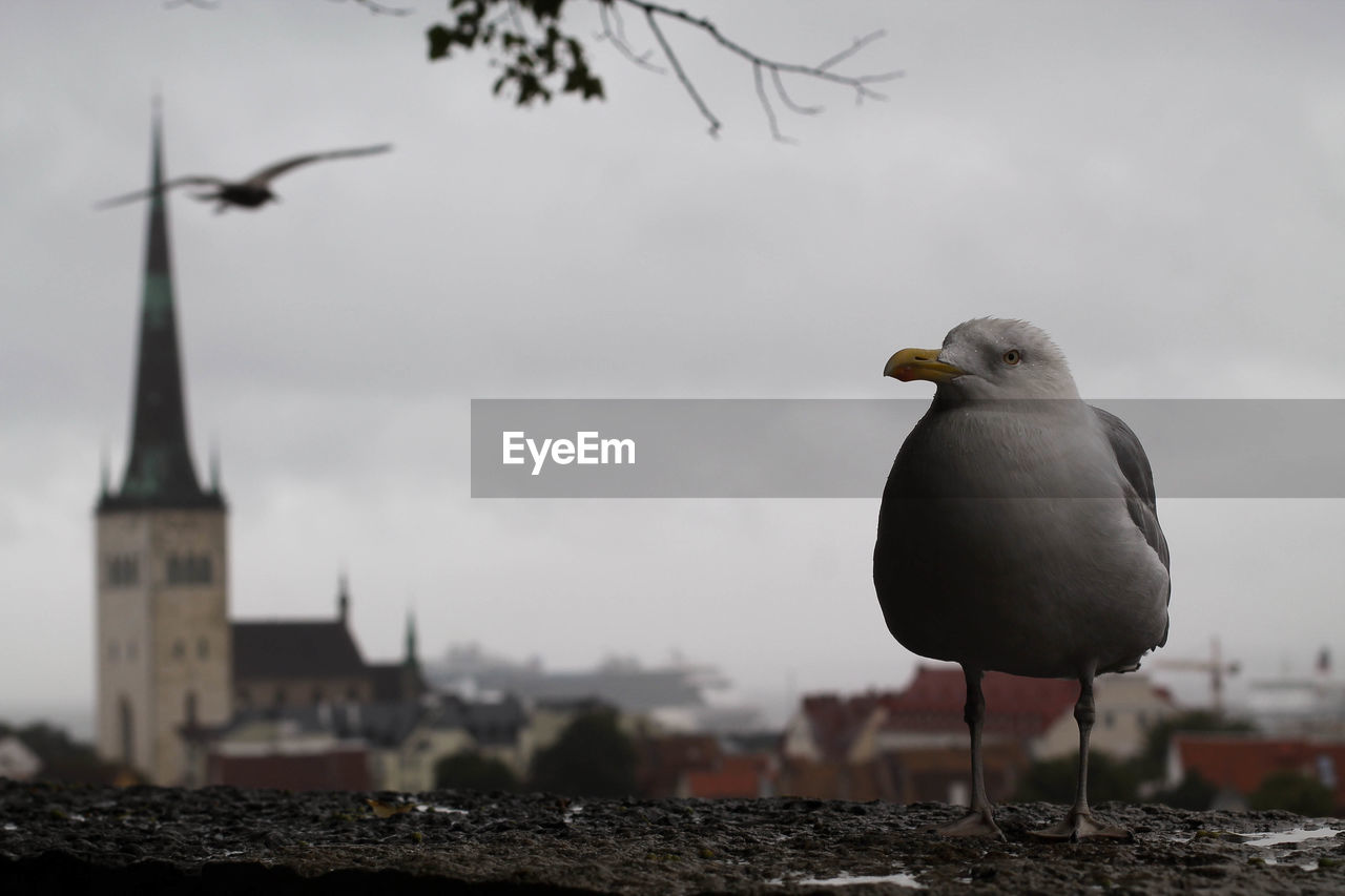 bird, vertebrate, animal themes, animal, sky, animals in the wild, animal wildlife, focus on foreground, one animal, architecture, nature, built structure, day, no people, seagull, perching, outdoors, building exterior, building, full length