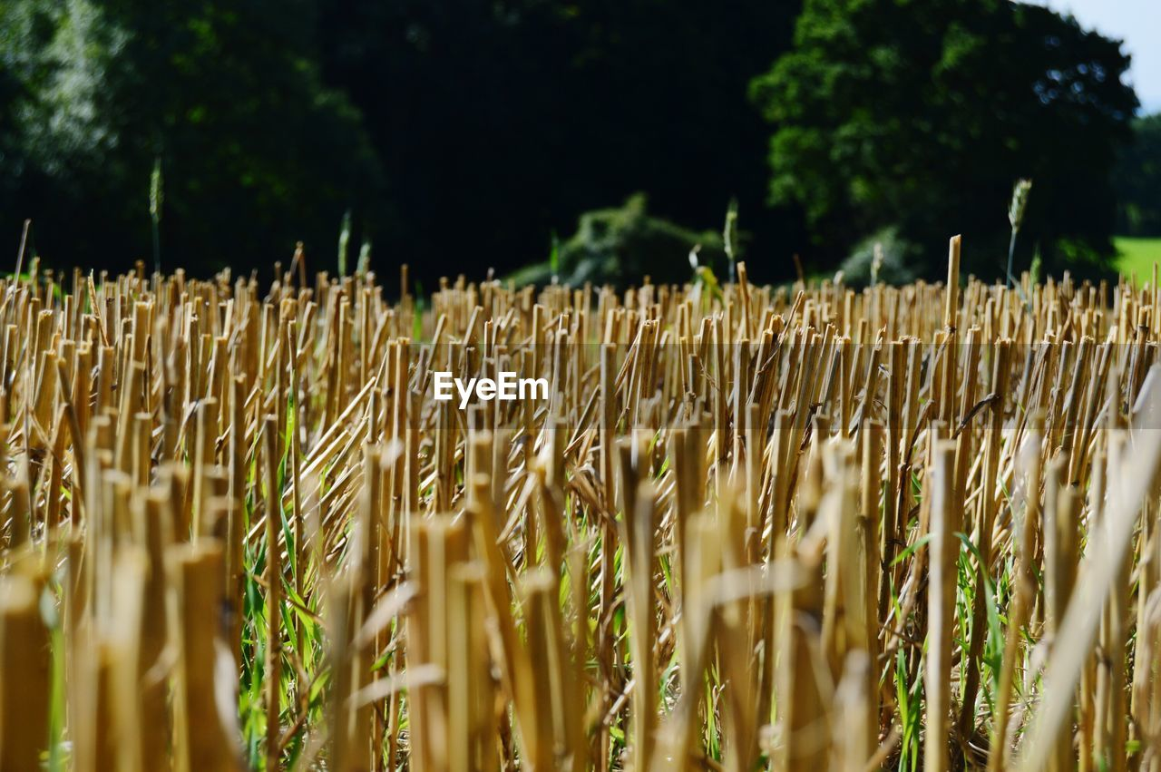 growth, crop, agriculture, nature, plant, day, wheat, no people, field, outdoors, cereal plant, ear of wheat, close-up, beauty in nature