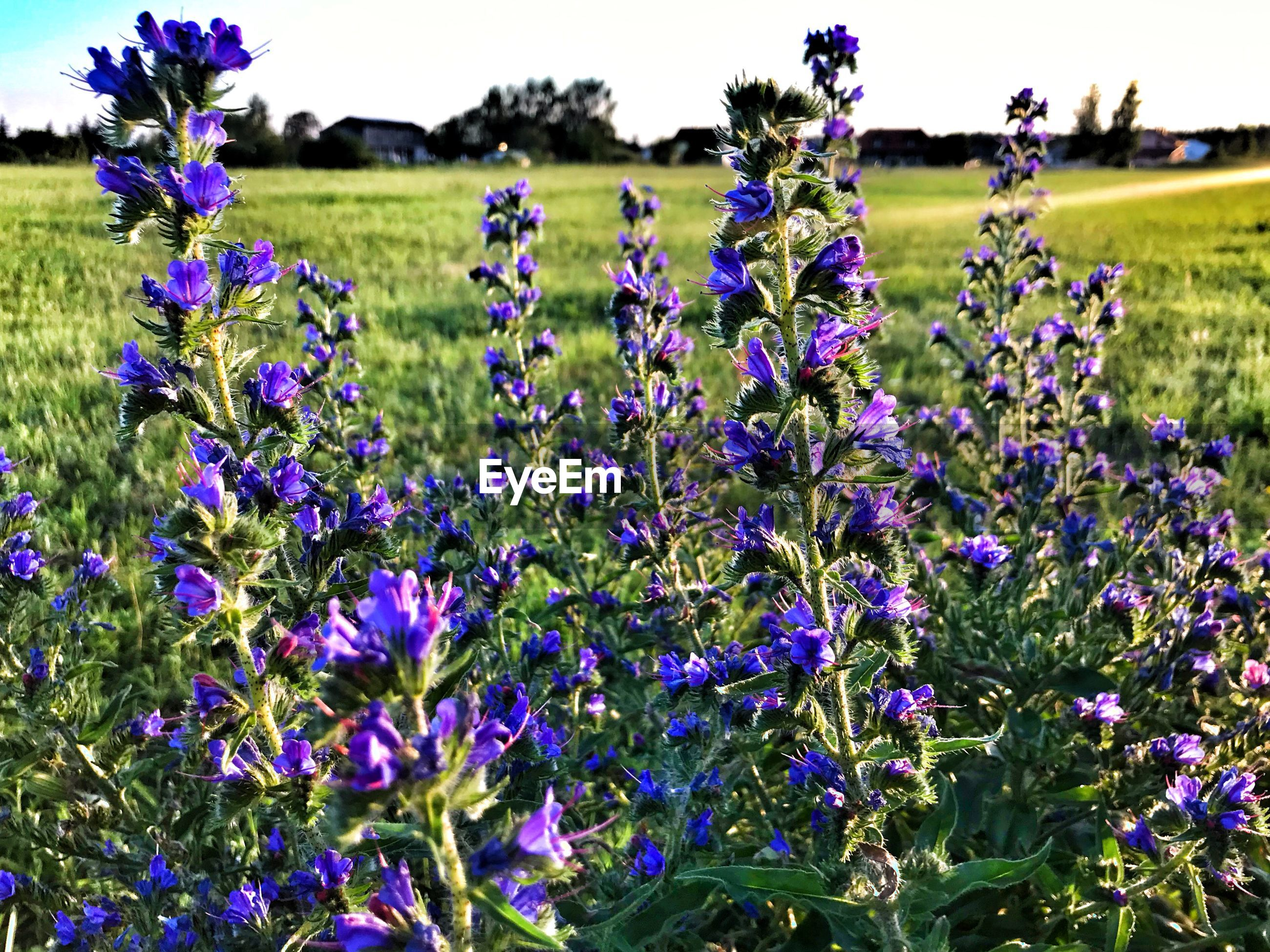 CLOSE-UP OF FRESH PURPLE LAVENDER FLOWERS IN FIELD