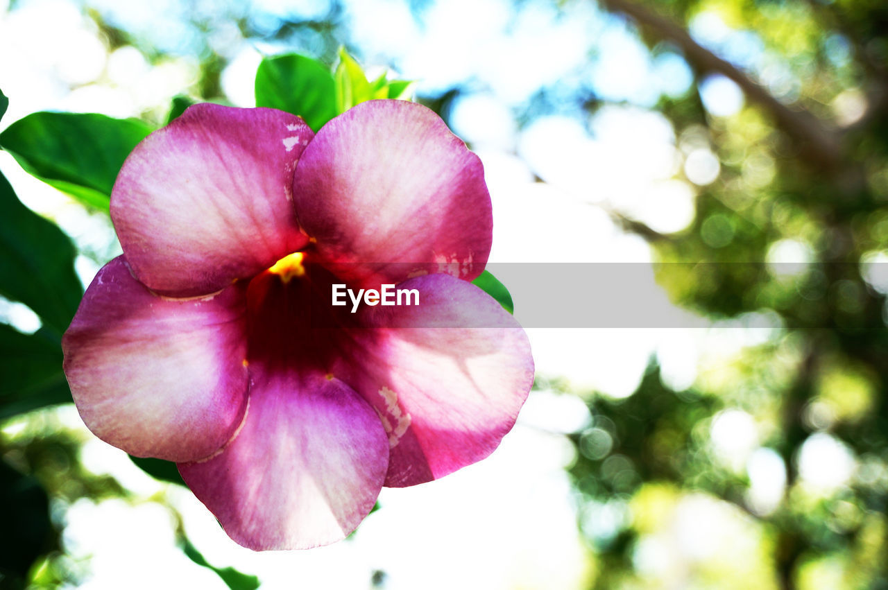 flower, petal, fragility, beauty in nature, flower head, nature, freshness, pink color, growth, day, focus on foreground, blooming, outdoors, close-up, plant, no people, hibiscus, petunia, periwinkle