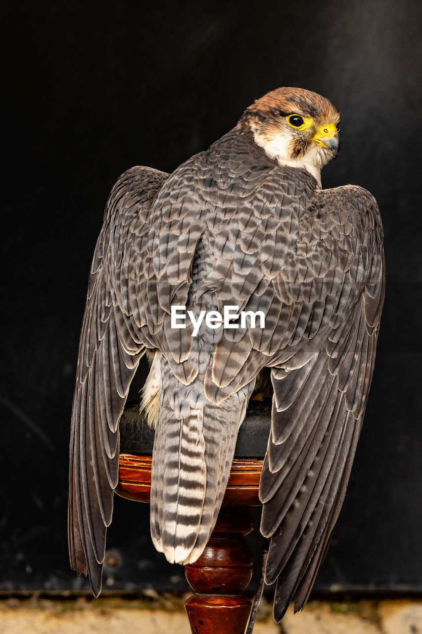 animal themes, animal, vertebrate, animals in the wild, animal wildlife, bird, one animal, bird of prey, no people, focus on foreground, perching, close-up, nature, indoors, black background, studio shot, day, looking away, wood - material, eagle, falcon - bird