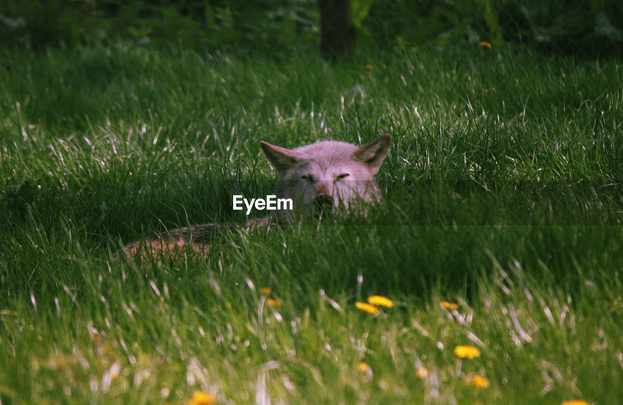 Wolf sitting on field