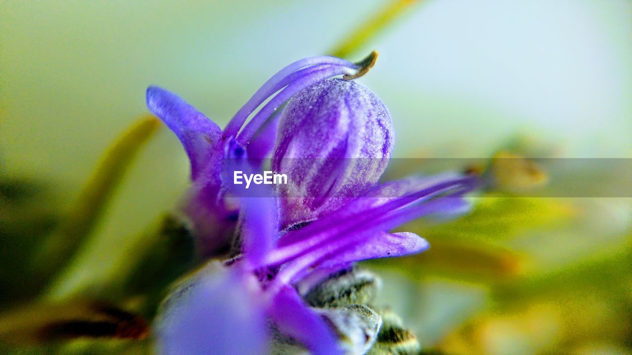 flowering plant, fragility, flower, vulnerability, freshness, purple, close-up, beauty in nature, petal, plant, selective focus, growth, inflorescence, flower head, no people, nature, drop, wet, water, pollen, outdoors, dew, purity, sepal, crocus