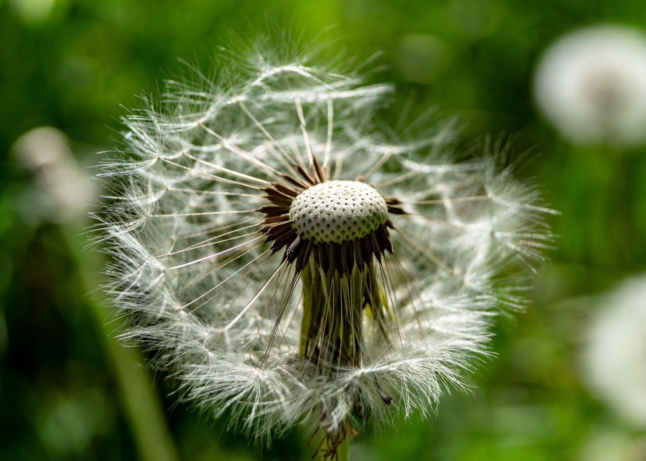 flowering plant, flower, plant, fragility, vulnerability, beauty in nature, close-up, growth, freshness, focus on foreground, flower head, dandelion, inflorescence, nature, day, white color, dandelion seed, no people, outdoors, softness