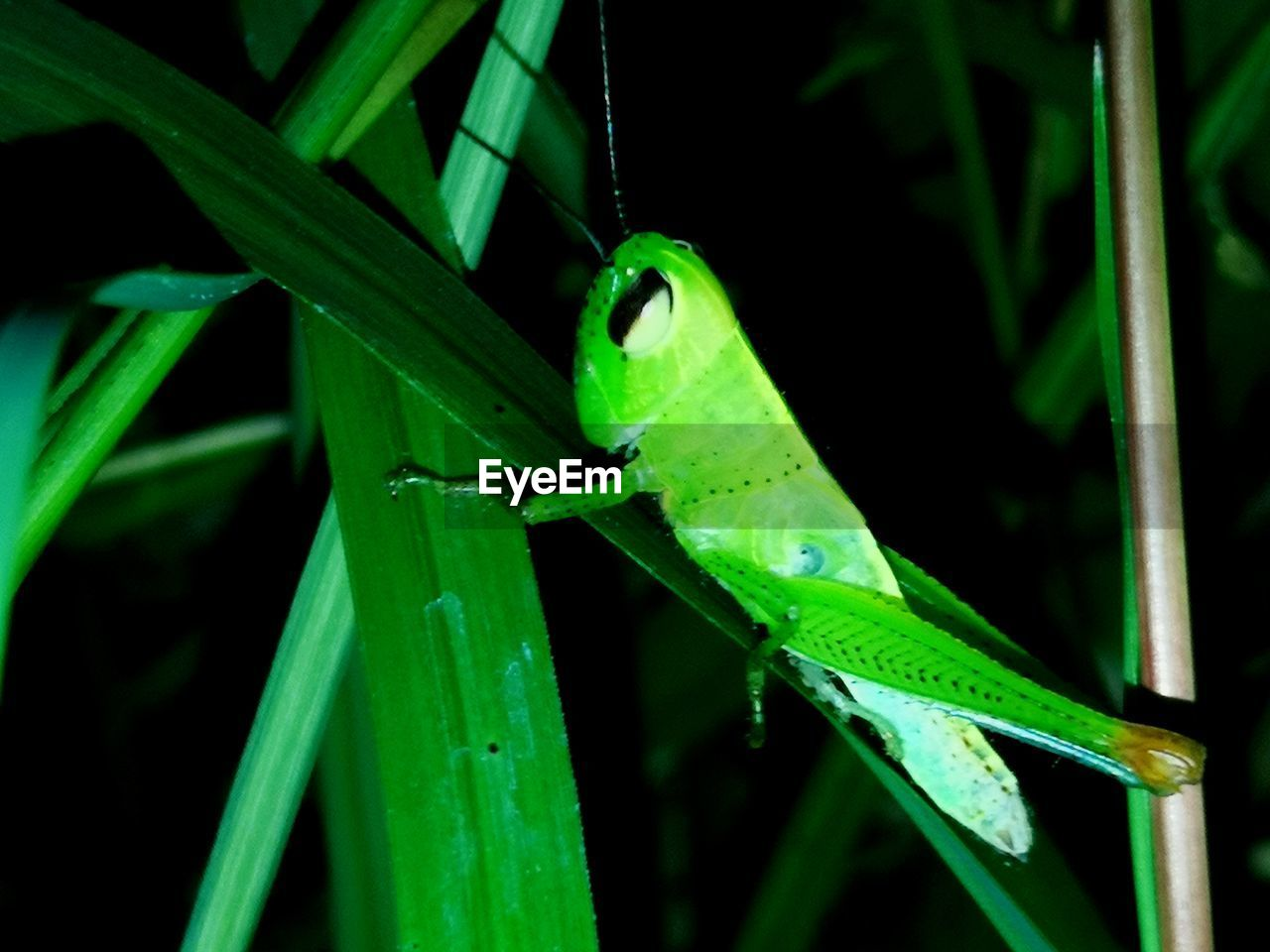 green color, animals in the wild, one animal, animal wildlife, animal themes, animal, plant, vertebrate, close-up, nature, leaf, plant part, reptile, no people, lizard, focus on foreground, grasshopper, invertebrate, blade of grass, insect, outdoors, animal eye
