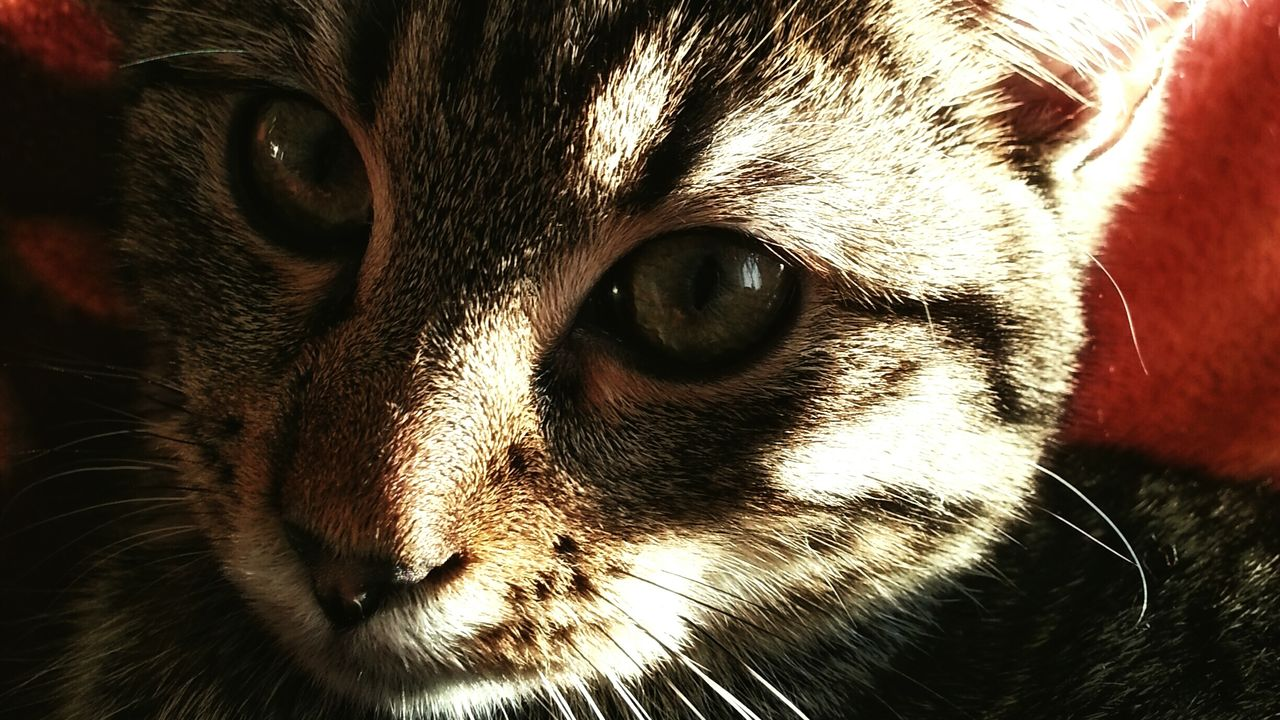 Close-up portrait of tabby