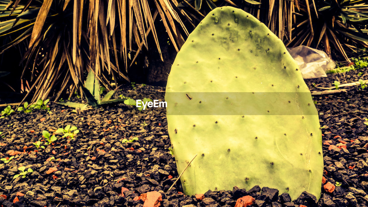 cactus, growth, nature, leaf, green color, plant, outdoors, no people, day, close-up, prickly pear cactus, beauty in nature, food, freshness