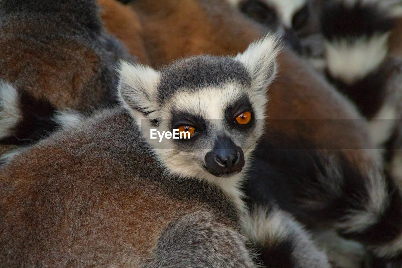 animal themes, animal, lemur, mammal, animal wildlife, animals in the wild, group of animals, no people, focus on foreground, close-up, vertebrate, day, two animals, nature, portrait, outdoors, young animal, looking away, zoology, animal family