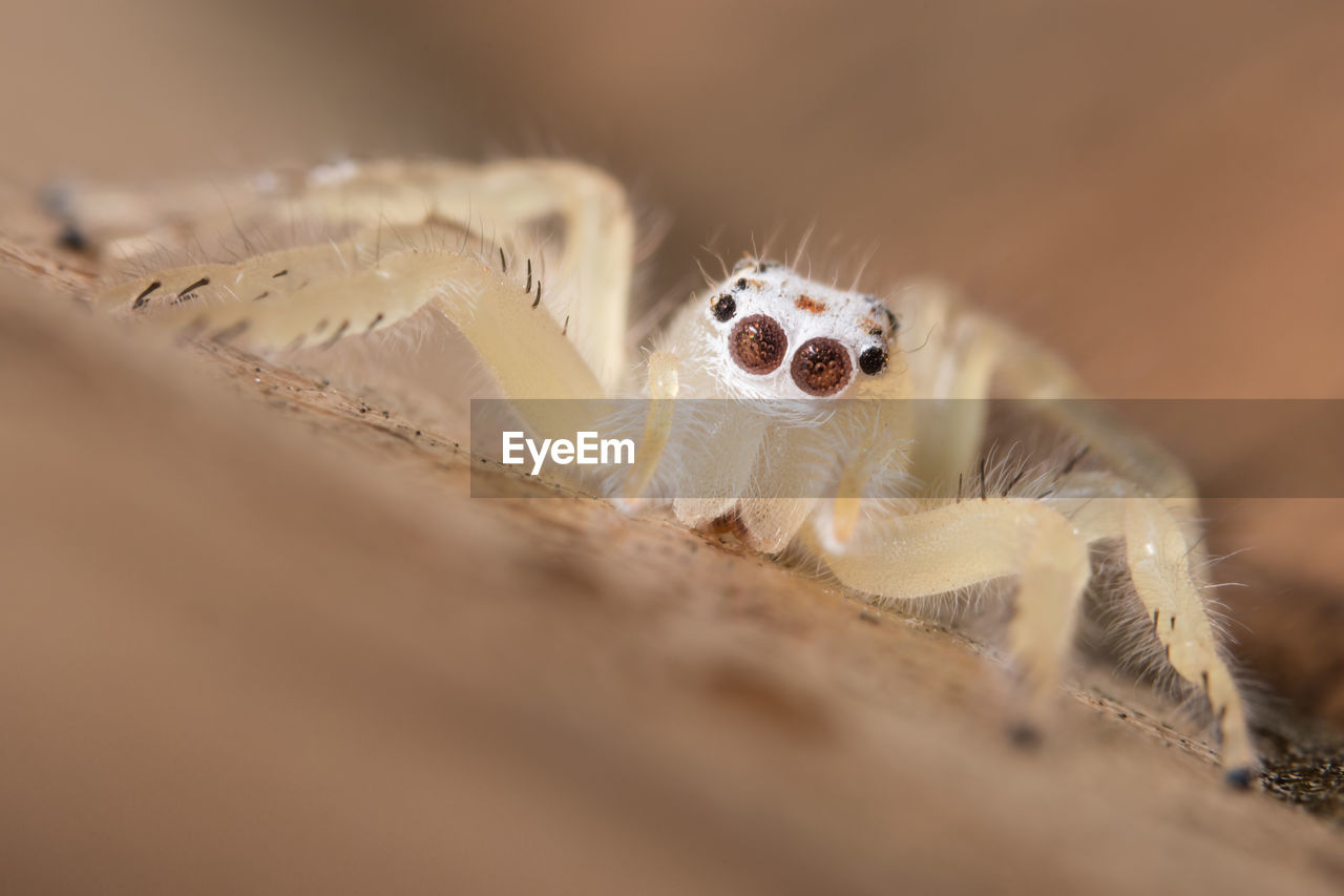 selective focus, animal themes, one animal, animals in the wild, spider, animal wildlife, jumping spider, close-up, no people, indoors, day, nature, mammal