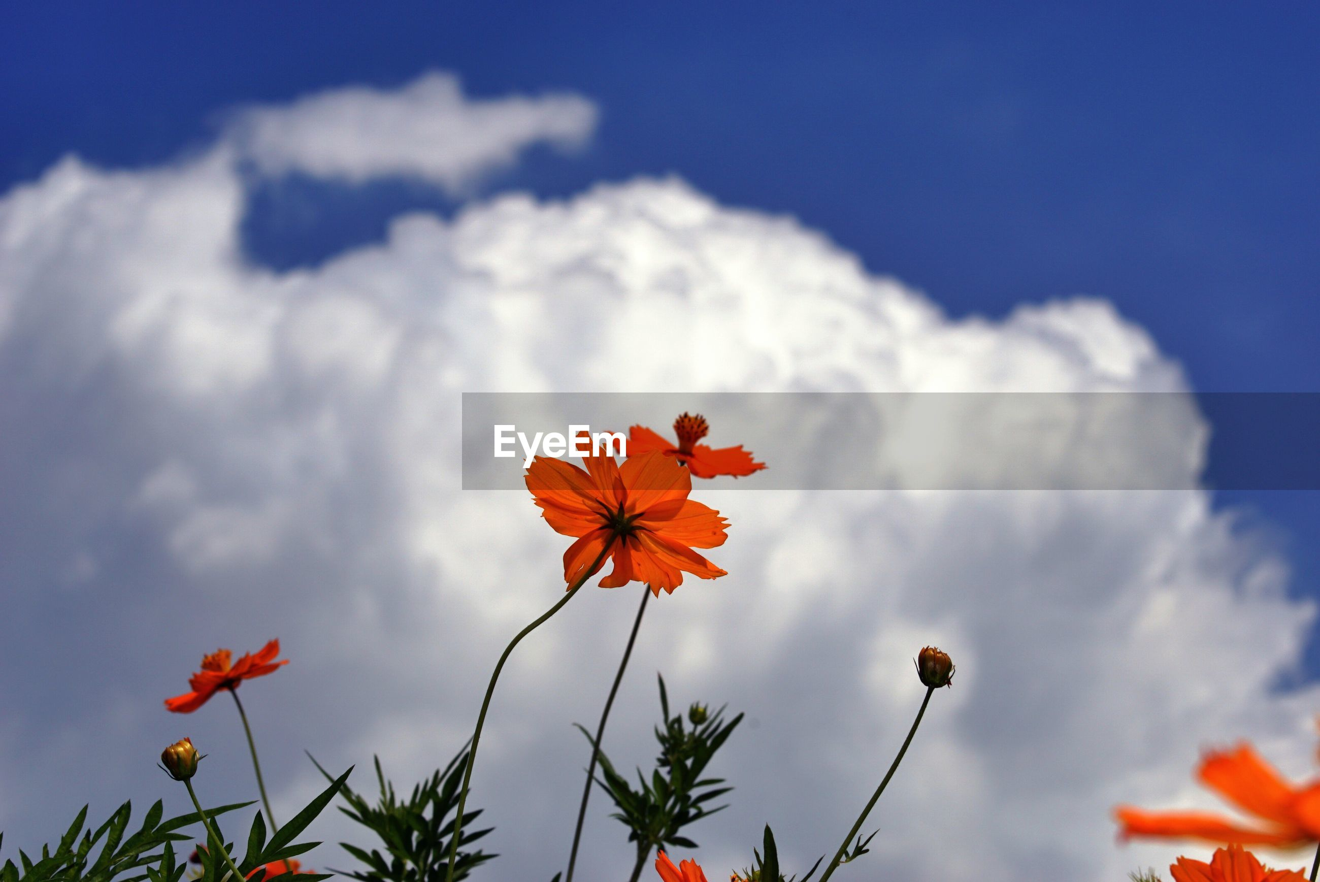 Low angle view of orange flowers blooming against cloudy sky