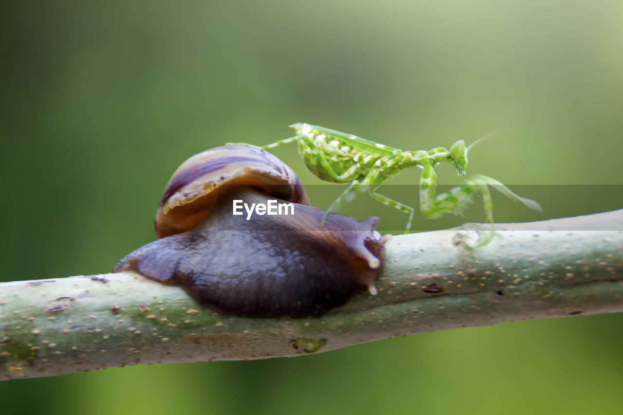 invertebrate, animal wildlife, animal themes, animal, animals in the wild, one animal, insect, close-up, plant, nature, gastropod, mollusk, no people, snail, day, selective focus, focus on foreground, growth, beauty in nature, green color, outdoors, crawling