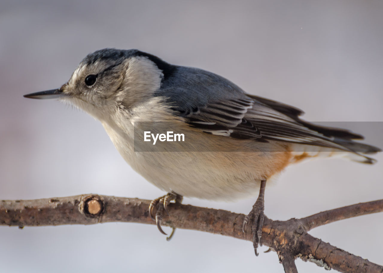 vertebrate, bird, animal themes, perching, animal, one animal, animal wildlife, animals in the wild, focus on foreground, close-up, day, no people, branch, full length, nature, tree, outdoors, looking, side view, twig
