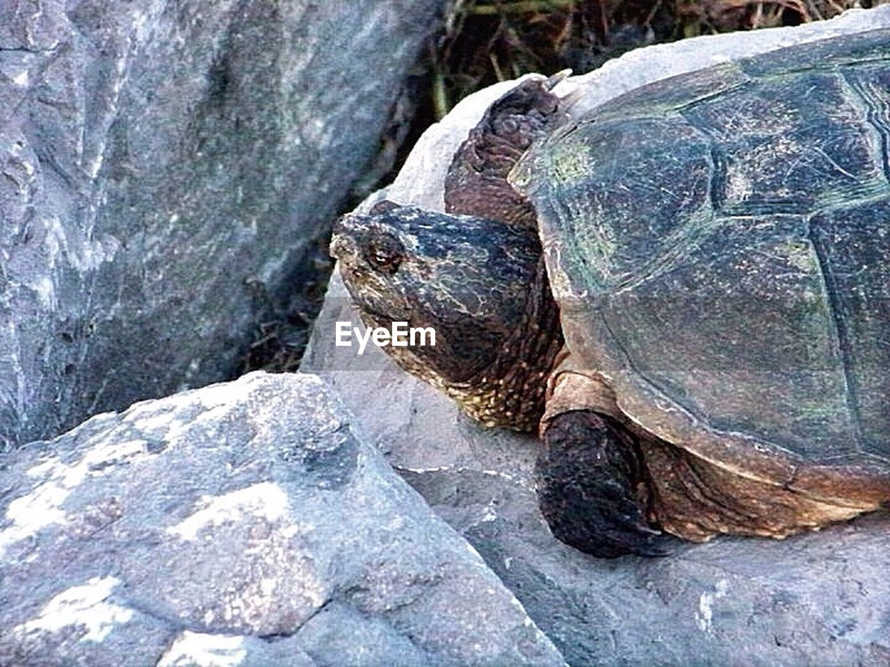 animal shell, tortoise, animals in the wild, reptile, tortoise shell, animal wildlife, one animal, animal themes, turtle, day, nature, outdoors, no people, beauty in nature, close-up