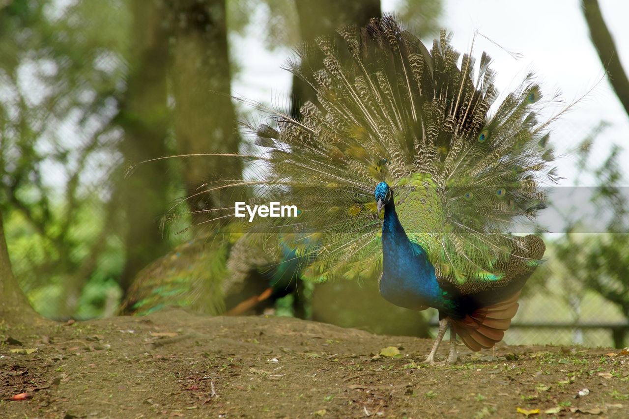 one animal, animal themes, bird, animal, animal wildlife, animals in the wild, vertebrate, peacock, day, nature, no people, plant, focus on foreground, tree, blue, close-up, green color, beauty in nature, outdoors, land