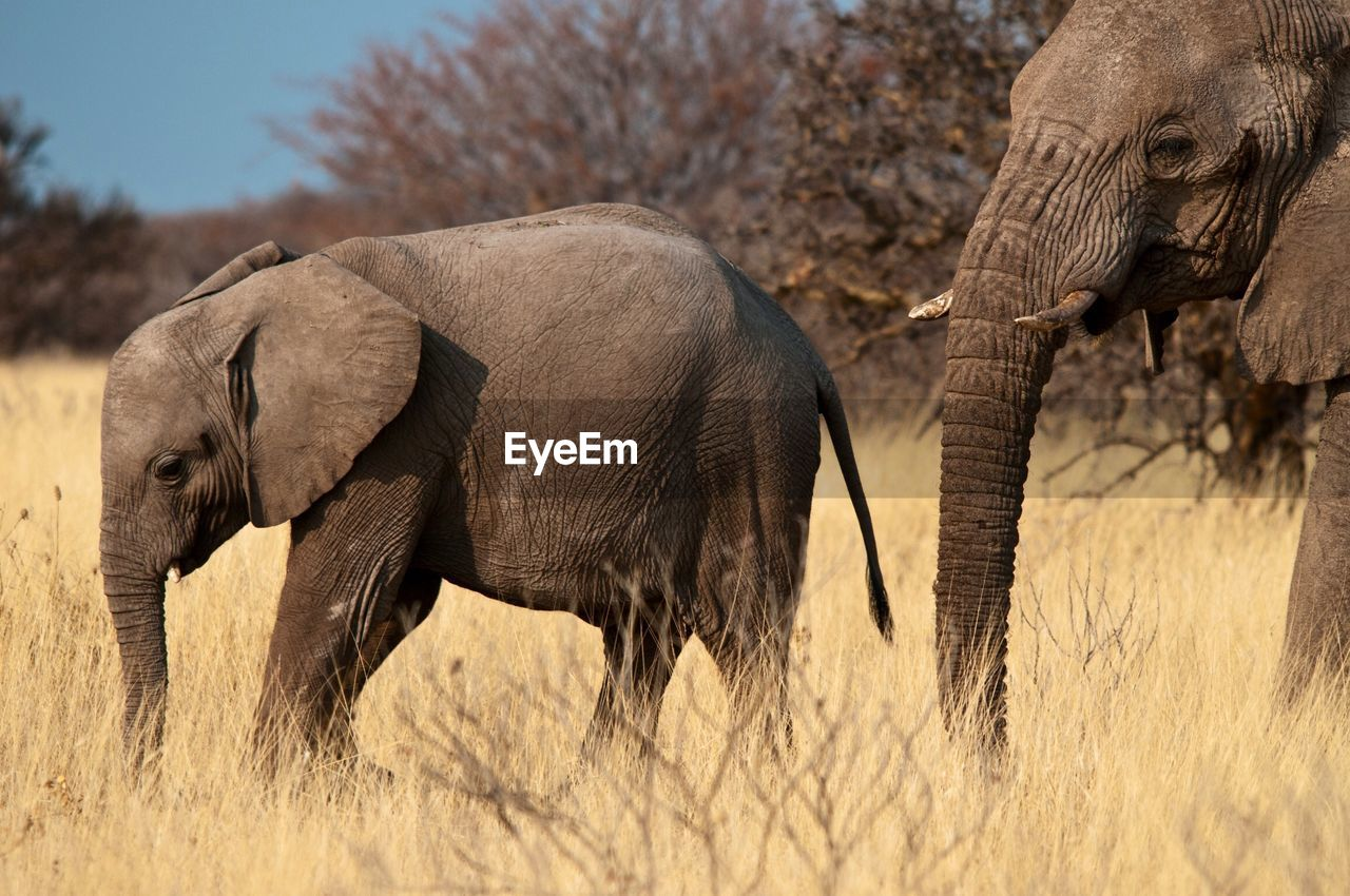 Side view of elephants walking on land
