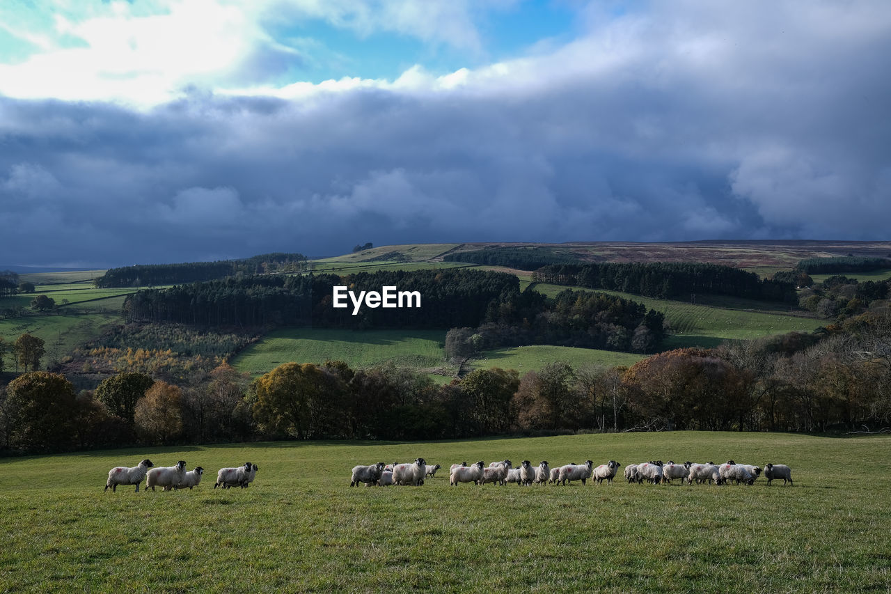 cloud - sky, sky, sheep, livestock, domestic animals, large group of animals, animal themes, animal, flock of sheep, domestic, mammal, group of animals, field, plant, landscape, grass, pets, land, beauty in nature, environment, no people, outdoors, herd, herbivorous