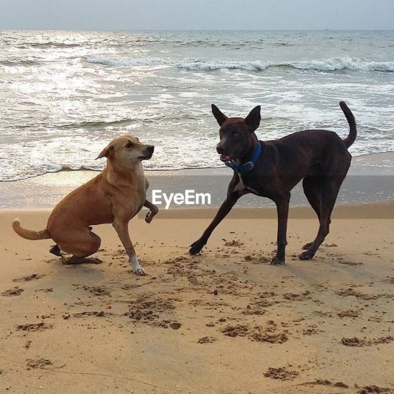 dog, pets, beach, sand, domestic animals, animal themes, sea, two animals, mammal, shore, pet collar, outdoors, playing, nature, no people, pit bull terrier, water, day, horizon over water, sky