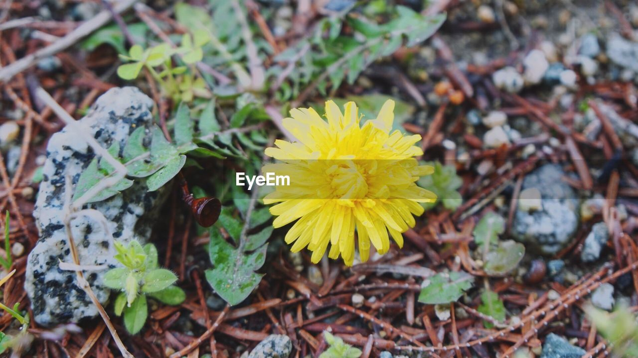 flower, yellow, fragility, beauty in nature, nature, petal, freshness, flower head, growth, plant, no people, close-up, outdoors, high angle view, leaf, field, day, blooming